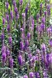 Ιώδη λουλούδια στην άνθιση Στοκ Φωτογραφίες