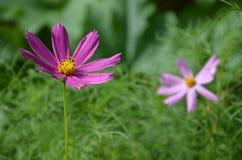 Ιώδη λουλούδια στον κήπο Στοκ Εικόνα
