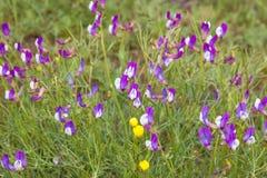 Ιώδη λουλούδια στον τομέα Λουλούδια στεπών, Αλμάτι, Καζακστάν Στοκ Εικόνα