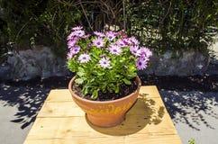Ιώδη λουλούδια στο δοχείο Στοκ Φωτογραφία