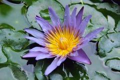 Ιώδη λουλούδια, λωτός, thaiflowers Στοκ εικόνα με δικαίωμα ελεύθερης χρήσης