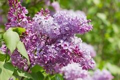 Ιώδη λουλούδια Στοκ εικόνα με δικαίωμα ελεύθερης χρήσης