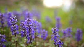 Ιώδη λουλούδια Lysimachia στην πράσινη χλόη Χλωρίδα του Μαυροβουνίου απόθεμα βίντεο