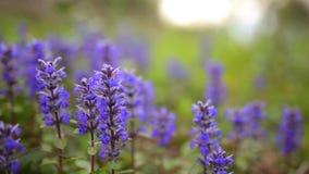 Ιώδη λουλούδια Lysimachia στην πράσινη χλόη Χλωρίδα του Μαυροβουνίου φιλμ μικρού μήκους