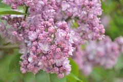 Ιώδη λουλούδια Syringa Στοκ Φωτογραφία