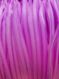 Ιώδη πέταλα λουλουδιών Στοκ φωτογραφία με δικαίωμα ελεύθερης χρήσης