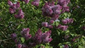 Ιώδη ρόδινα άνθη Μπους ανοίξεων φιλμ μικρού μήκους