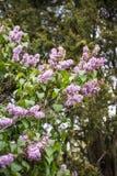 Ιώδη χλωμά Lavendar άνθη του Μπους Στοκ Φωτογραφίες