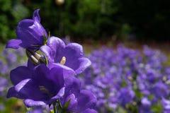 Ιώδη bellflowers στοκ εικόνες με δικαίωμα ελεύθερης χρήσης