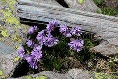 Ιώδη primroses  glutinosa primula Στοκ εικόνα με δικαίωμα ελεύθερης χρήσης