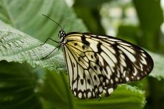 Ιδέα leuconoe - ικτίνος εγγράφου, πεταλούδα Στοκ εικόνα με δικαίωμα ελεύθερης χρήσης