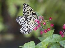 Ιδέα Leuconoe πεταλούδων Στοκ Φωτογραφία