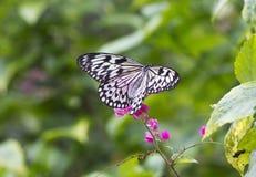 Ιδέα Leuconoe πεταλούδων Στοκ εικόνα με δικαίωμα ελεύθερης χρήσης