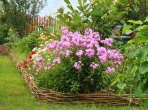 Ιδέες για τον κήπο - paniculata Phlox στην άνθιση στοκ εικόνα