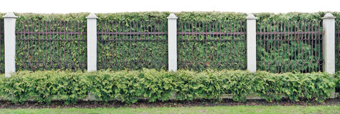 Ιδανικός ακριβής πράσινος φράκτης από τις κωνοφόρες αειθαλείς εγκαταστάσεις και στοκ φωτογραφίες με δικαίωμα ελεύθερης χρήσης