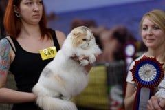Ιδιοκτήτης με τη σκωτσέζικη γάτα πτυχών Στοκ Εικόνες