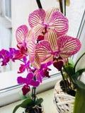 Ι ` μ τόσο υπερήφανο το όμορφο πορφυρό λουλούδι ορχιδεών μου στοκ εικόνες με δικαίωμα ελεύθερης χρήσης