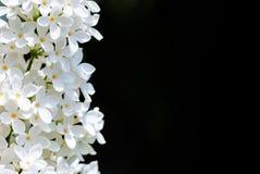 Κάθετη άσπρη πασχαλιά στο Μαύρο Στοκ φωτογραφίες με δικαίωμα ελεύθερης χρήσης