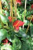 Κάθετη εικόνα των ζωηρόχρωμων Anthurium λουλουδιών που πτυχώνονται στο πράσινο φύλλωμα Στοκ φωτογραφία με δικαίωμα ελεύθερης χρήσης
