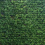 Κάθετη σύσταση επιφάνειας σχεδίων τοίχων κήπων πολύβλαστη πράσινη Κινηματογράφηση σε πρώτο πλάνο του εξωτερικού φυσικού υλικού γι στοκ εικόνα