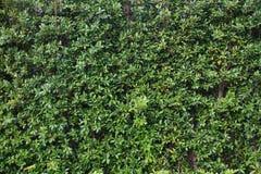 Κάθετη σύσταση επιφάνειας σχεδίων τοίχων κήπων πολύβλαστη πράσινη Κινηματογράφηση σε πρώτο πλάνο του εξωτερικού φυσικού υλικού γι στοκ φωτογραφία