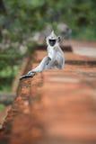 Κάθετη φωτογραφία του γκρίζου langur, entellus Semnopithecus, μωρό στοκ εικόνες