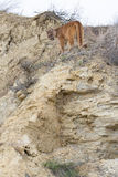 Κάθετη φωτογραφία του λιονταριού βουνών πάνω από την κορυφογραμμή στοκ εικόνες με δικαίωμα ελεύθερης χρήσης