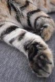 Κάθετη φωτογραφία των μπροστινών ποδιών μιας βρετανικής γάτας shorthair ύπνου στοκ φωτογραφία με δικαίωμα ελεύθερης χρήσης