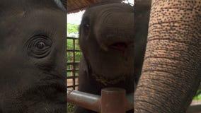 Κάθετο βίντεο για τις κοινωνικές εφαρμογές μέσων στις κινητές συσκευές Ασιατικό maximus Elephas ελεφάντων μωρών στην περίφραξη μέ απόθεμα βίντεο