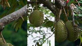 Κάθετο βίντεο για τις κοινωνικές εφαρμογές μέσων στις κινητές συσκευές Ένωση durio Durian σε έναν κλάδο δέντρων Εξωτικά φρούτα φιλμ μικρού μήκους