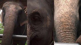 Κάθετο βίντεο για τις κοινωνικές εφαρμογές μέσων στις κινητές συσκευές Ασιατικό maximus elephas ελεφάντων στην περίφραξη μέσα φιλμ μικρού μήκους