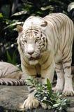 κάθετο λευκό τιγρών Στοκ φωτογραφία με δικαίωμα ελεύθερης χρήσης
