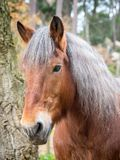 Κάθετο πορτρέτο του κόκκινου προσώπου αλόγων, ασημένιος Μάιν στοκ φωτογραφία με δικαίωμα ελεύθερης χρήσης