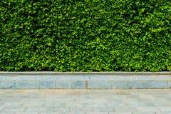 Κάθετο τοίχος φύλλων κήπων πράσινο ή behide φρακτών δέντρων ο δρόμος Στοκ εικόνα με δικαίωμα ελεύθερης χρήσης