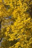 Κάθετο υπόβαθρο με το κίτρινο φύλλωμα φθινοπώρου Στοκ φωτογραφίες με δικαίωμα ελεύθερης χρήσης