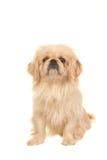 Κάθισμα του ξανθού ενήλικου θιβετιανού σκυλιού σπανιέλ που αντιμετωπίζει τη κάμερα Στοκ Εικόνες