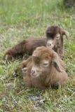 Κάθισμα δύο goatlings Στοκ Εικόνα