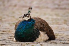 Κάθισμα peacock Στοκ φωτογραφία με δικαίωμα ελεύθερης χρήσης
