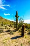 Κάκτοι βαρελιών, Saguaro και Ocotillo στο ημι τοπίο ερήμων του περιφερειακού πάρκου βουνών Usery κοντά στο Phoenix Αριζόνα Στοκ Φωτογραφία