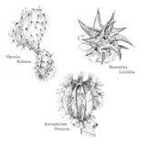 Κάκτοι και succulent σύνολο σκίτσων μελανιού Διανυσματική απεικόνιση