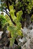 Κάκτοι που αυξάνονται στον εξωτικό κήπο Ο κήπος κάκτων σε Monte Γ Στοκ Εικόνες