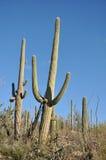 Κάκτοι στην έρημο της Αριζόνα Στοκ εικόνα με δικαίωμα ελεύθερης χρήσης
