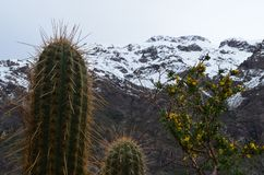 Κάκτοι στην εθνική επιφύλαξη RÃo Blanco, κεντρική Χιλή, μια υψηλή κοιλάδα βιοποικιλότητας στο Los Άνδεις στοκ εικόνα με δικαίωμα ελεύθερης χρήσης