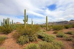 Κάκτοι σωλήνων και Saguaro οργάνων στο εθνικό μνημείο κάκτων σωλήνων οργάνων, Αριζόνα, ΗΠΑ στοκ εικόνα