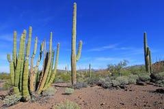 Κάκτοι σωλήνων και Saguaro οργάνων στο εθνικό μνημείο κάκτων σωλήνων οργάνων, Αριζόνα, ΗΠΑ στοκ εικόνες