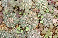 Κάκτοι Gymnocalycium Στοκ Εικόνες
