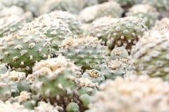 Κάκτοι Lophophora Στοκ φωτογραφία με δικαίωμα ελεύθερης χρήσης