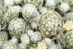 Κάκτοι Mammillaria Στοκ Φωτογραφία