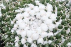 Κάκτοι Mammillaria Στοκ φωτογραφία με δικαίωμα ελεύθερης χρήσης