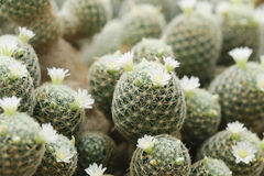Κάκτοι Mammillaria Στοκ εικόνες με δικαίωμα ελεύθερης χρήσης